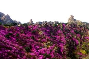 青岛西海岸万亩野生杜鹃进入最佳赏花期