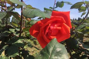 重庆:第三届潼南玫瑰节浪漫开启 万亩玫瑰盛装迎客!