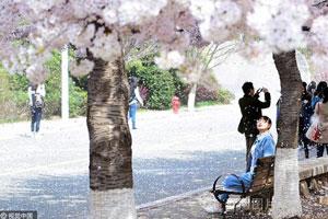 """青岛下起""""樱花雨"""" 浪漫梦幻媲美武大"""