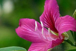 紫荆花的介绍