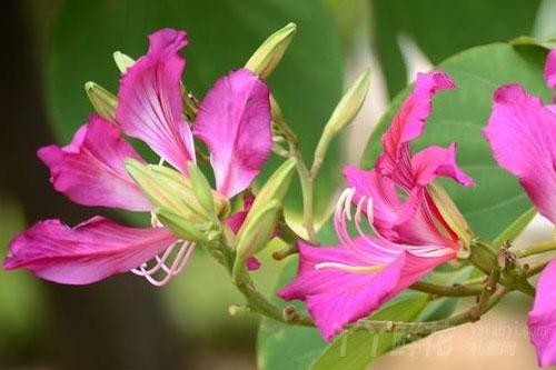 紫荆花的生态习性
