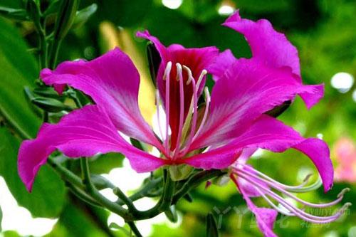紫荆花的花语