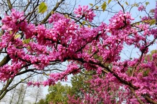 紫荆花的繁殖方式