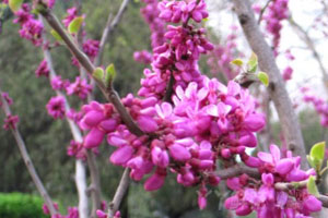 紫荆花的栽培技术