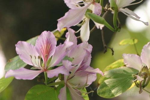 紫荆花的分布区域