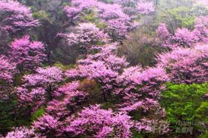 紫荆花的园林用途