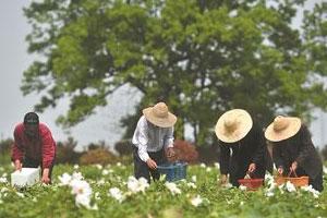 南京六合千畝油用牡丹綻放致富花