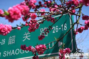 青岛:樱花谢了碧桃红