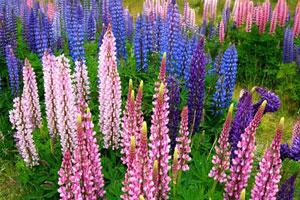 石家庄植物园首届鲁冰花节开幕:带家人一起去看母亲花吧