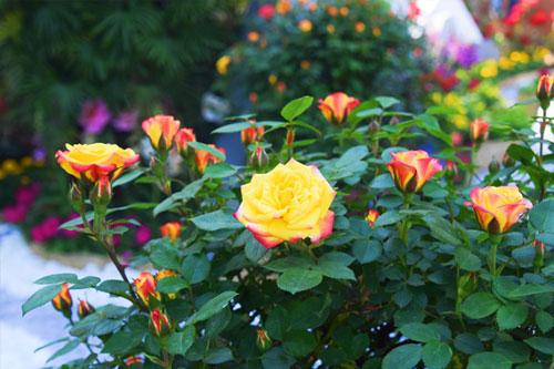 郑州第二十三届月季花展开展 1200余种月季等您来赏