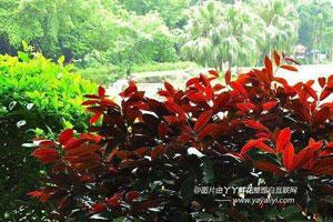 红背桂的园林用途