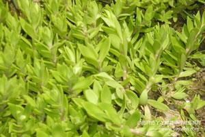 垂盆草的形态特征