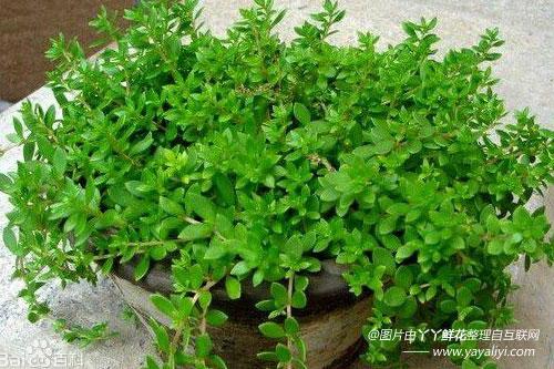 垂盆草的栽培技术