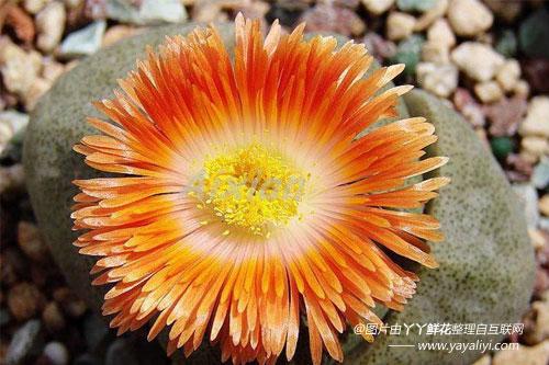 生石花的形态特征