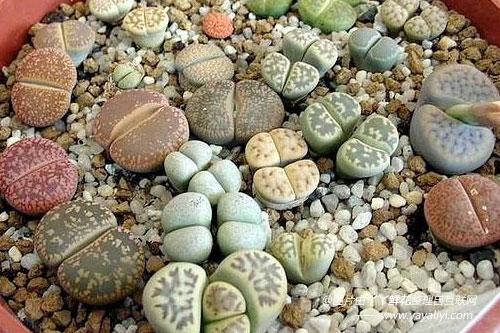生石花的栽培技术
