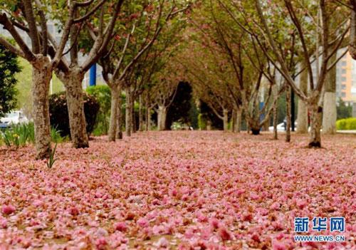辽宁大连街头樱花落地 宛如鲜花铺成的地毯