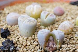 生石花的养殖方法