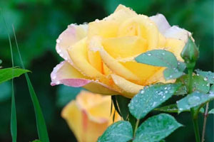 青岛海泊河公园月季盛开 雨中赏花沐浴芬芳