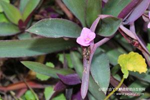 紫鸭跖草的介绍