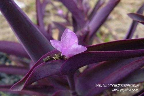 紫鸭跖草的分布区域