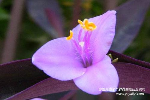 紫鸭跖草的生态习性