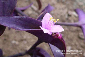 紫鸭跖草的栽培技术