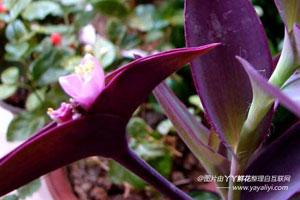 紫鸭跖草的繁殖方式