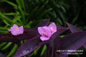 秋季繁殖紫鸭跖草有哪些优点?