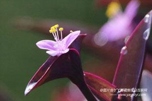 紫鸭跖草的作用用途