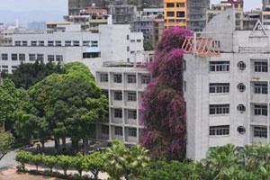 广西大学鲜花瀑布 系国内首个三角梅长到近30米高的案例