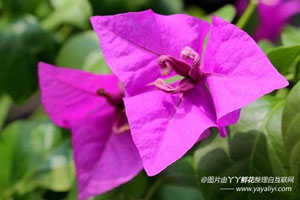 三角梅的病虫害防治