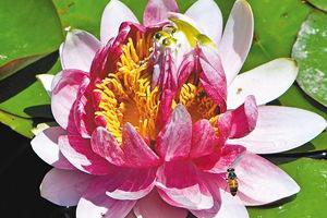 罕见三花并蒂睡莲 现身西安植物园