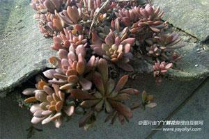 塔花瓦松的栽培技术