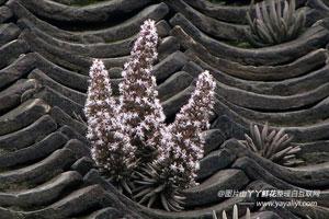 塔花瓦松的植物文化