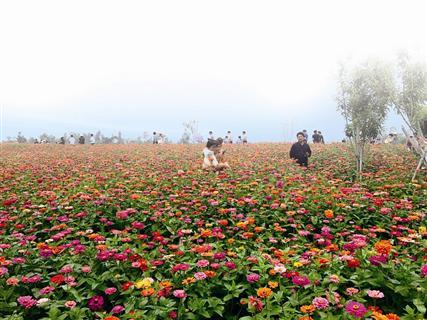 厦门香山又迎一季50亩花海 端午节到这赏花吧