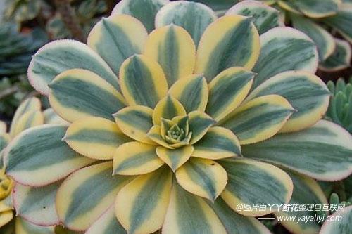 莲花掌的形态特征