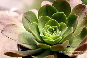 莲花掌的繁殖方法