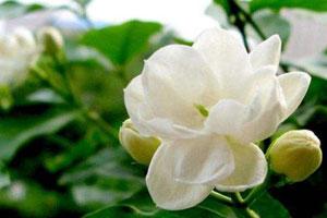 江苏南京盆花市场:茉莉花大量上市