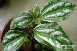 冷水花的病害防治