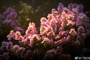 南宁大叶紫薇满城盛放 花期持续至7月中下旬