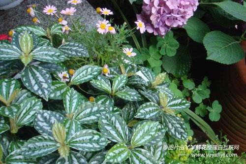 花卉养殖 花卉养殖 > 正文  冷水花的分布区域 冷水花产广东,广西