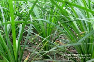 麦冬草的繁殖方式