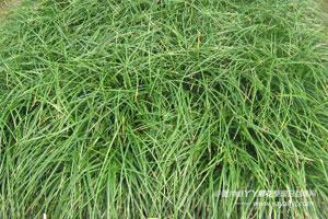 麦冬草的病害防治