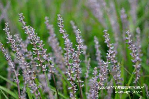 麦冬草的分布区域