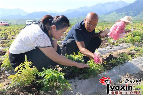 新疆吉木萨尔县鲁冰花景观带助力打造七彩山南