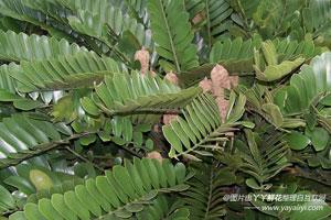 南美铁树的形态特征