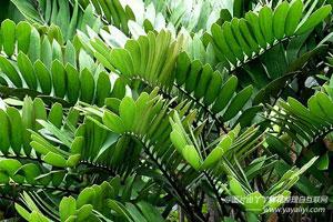 南美铁树的生长习性