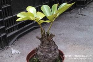 南美铁树的栽培技术