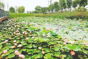 10万株鲜花盛开郑州龙湖北湿地公园