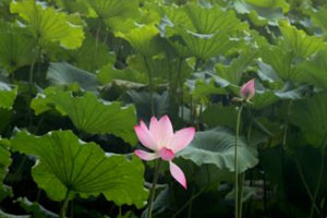 杭州:西湖荷花进入最佳观赏期